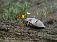 Borboletas bebem lágrimas de tartarugas na Amazônia