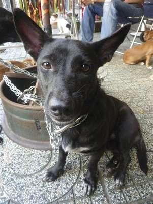 Cachorro é posto à venda em um mercado de animais no Vietnã, que recebe muitos mascotes sequestrados Foto: EFE