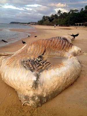 Animal tinha 11 metros e peso estimado entre 25 e 30 toneladas Foto: Namidia Comunicação / Divulgação