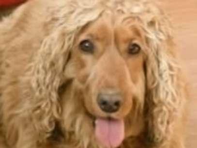 Dono do cachorro quer trocar o mascote por um iPhone 4, um tablet, ou dinheiro e causa polêmica na Irlanda Foto: Donedeal.com / Reprodução