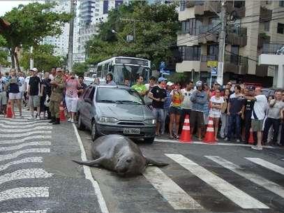 Leão-marinho de 3 metros foi atração em Balneário Camboriú após invadir a principal avenida da cidade Foto: Prefeitura de Balneário Camboriú / Divulgação
