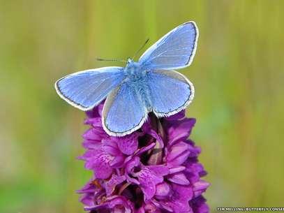 O Polyommatus icarus é a borboleta azul mais difundida na Grã-Bretanha e Irlanda e é encontrada em uma variedade de habitats gramados Foto: Butterfly Conservation / Divulgação
