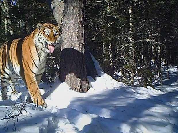 Para filmar a tigresa, foi preciso chegar a cem metros de distância dos animais e instalar câmeras ocultas Foto: Reprodução / BBCBrasil.com