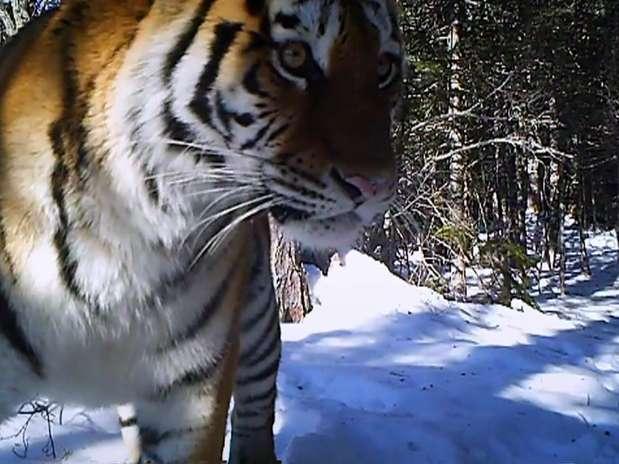 A espécie vive em um dos ambientes mais inóspitos da Terra, onde temperaturas podem chegar a -40ºC Foto: Reprodução / BBCBrasil.com