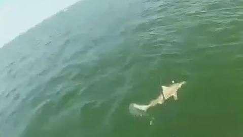 Peixe enorme engole tubarão de uma só vez