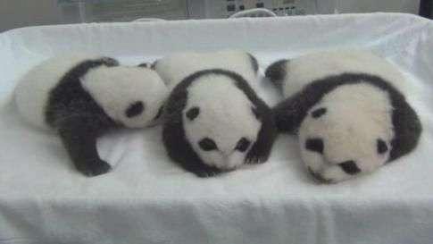 Filhotes trigêmeos de pandas abrem os olhos na China