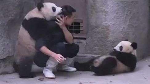 Fofura! Pandas dão trabalho a tratador para tomar remédio