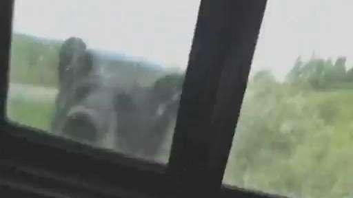 Urso acorda turistas ao tentar invadir carro