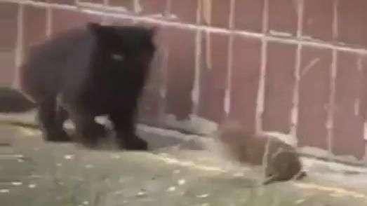 Dia da caça: gatos apanham de ratinho