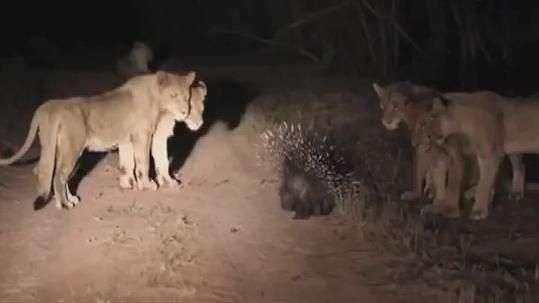 Porco-espinho vs leões: quem vence essa batalha?