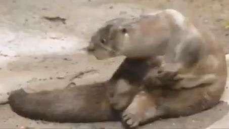 Lontra 'briga' com o próprio pé e vira sensação no zoológico