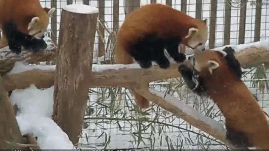 Pausa para fofura! Pandas vermelhos aproveitam neve nos EUA
