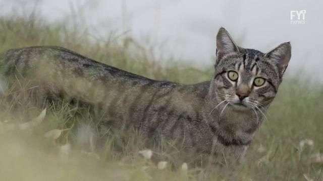 Austrália pretende extinguir 2 milhões de gatos selvagens