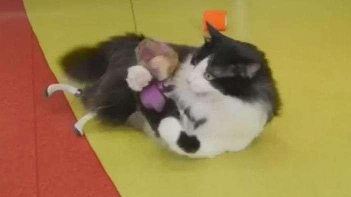 Equipado com patas biônicas, gato busca novo lar
