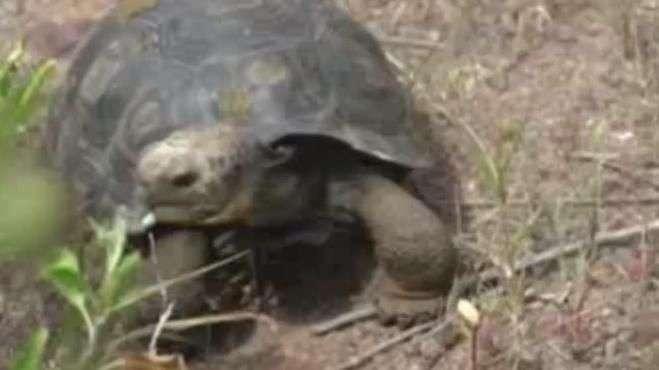 Iniciativa liberta 190 tartarugas gigantes em Galápagos