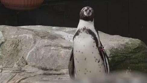 Tratadora cria perfil em app de namoro para pinguim solteirão