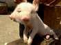 Porco nasce com duas faces na China; veja mutações incríveis