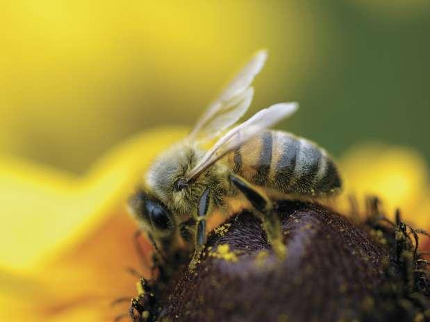 Pesquisas mostram que abelhas mantêm mente jovem por meio de mudanças sociais Foto: Getty Images