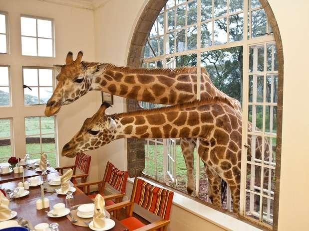 Giraffe Manor, Quênia: mansão colonial de 1930 a 20 km do centro de Nairobi, capital do Quênia, o Giraffe Manor é um incrível hotel boutique onde os hóspedes convivem com a presença das numerosas girafas que vivem ao seu redor. Seja na mesa do café da manhã, ou pela janela de seu quarto, estes belos animais encantam os visitantes numa estadia inesquecível. Diárias no Giraffe Manor a partir de R$ 600 diários Foto: Divulgação