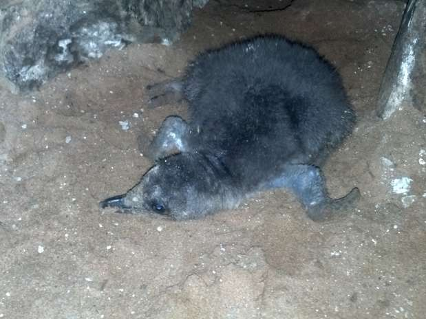 O animal nasceu depois de 42 dias de incubação realizada em esquema de rodízio entre o macho e a fêmea Foto: Zoológico municipal de Bauru / Divulgação