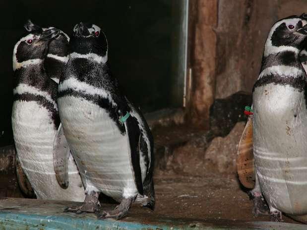 Os pinguins que são encontrados nas praias brasileiras durante o longo processo de migração geralmente estão doentes, machucados e com apenas 1/3 do peso. As aves são resgatadas, mas devido às condições graves de saúde, acabam morrendo  Foto: Zoológico municipal de Bauru / Divulgação