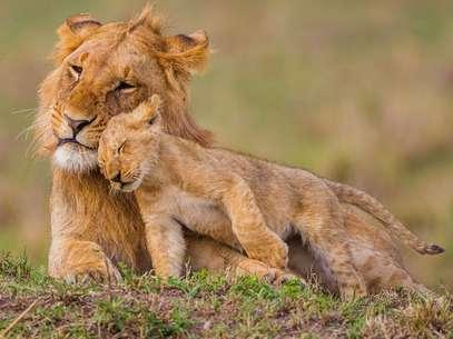 """Fotógrafo registra o momento em que um leão brinca com seu """"irmão"""" mais velho, no Quênia Foto: The Grosby Group"""