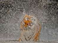 Foto de tigre em 'explosão de água' vence concurso da NatGeo