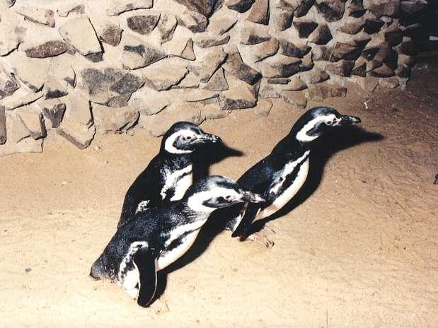 O filhote, da espécie Magalhães, é característico de águas temperadas dos Trópicos e habita as zonas costeiras da Patagônia e das Ilhas Malvinas  Foto: Zoológico municipal de Bauru / Divulgação